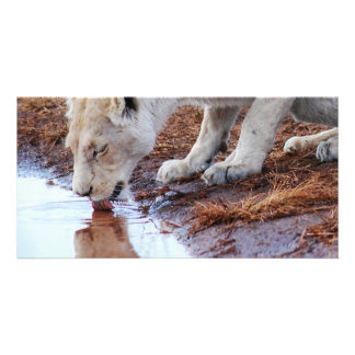 African Lions reflection Photo Card Template