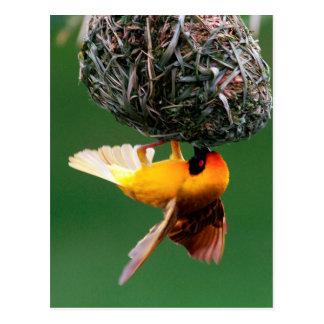 African Masked-Weaver (Ploceus Velatus) Postcard
