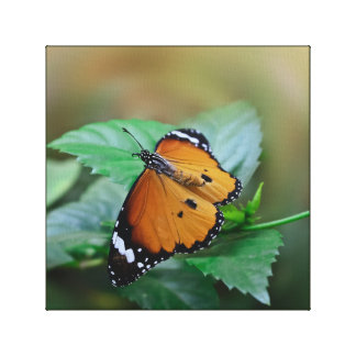 African monarch butterfly hatched out of pupa stretched canvas print