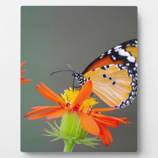 African Monarch butterfly on orange flower Plaque