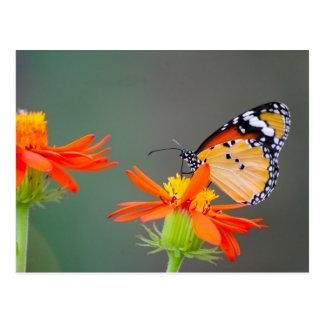 African Monarch butterfly on orange flower Postcard