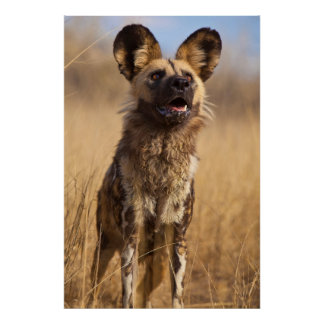 African Painted Wild Dog Poster
