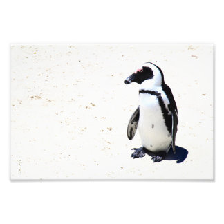 African Penguin at Boulders Beach Cape Town Photo Print