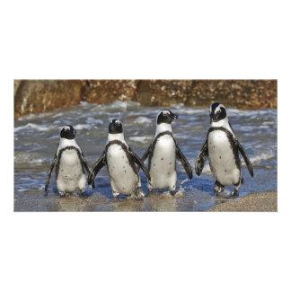 African Penguin Spheniscus demersus Bilder Karten