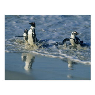 African Penguin, (Spheniscus demersus), coming 2 Postcard