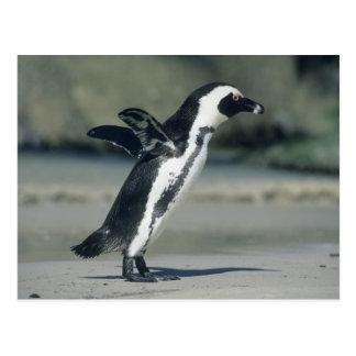 African Penguin, (Spheniscus demersus), coming Postcard