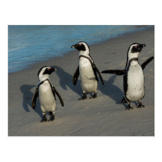African Penguins   Spheniscus Demersus Postcard