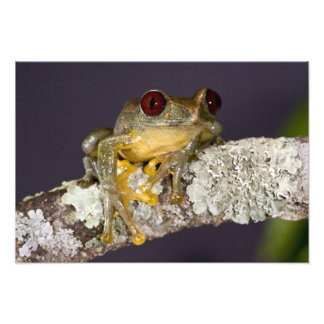 African Red Eye Treefrog, Leptopelis Photo Art