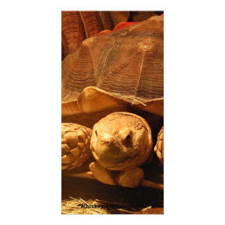 African Spurred Tortoise Photo Card