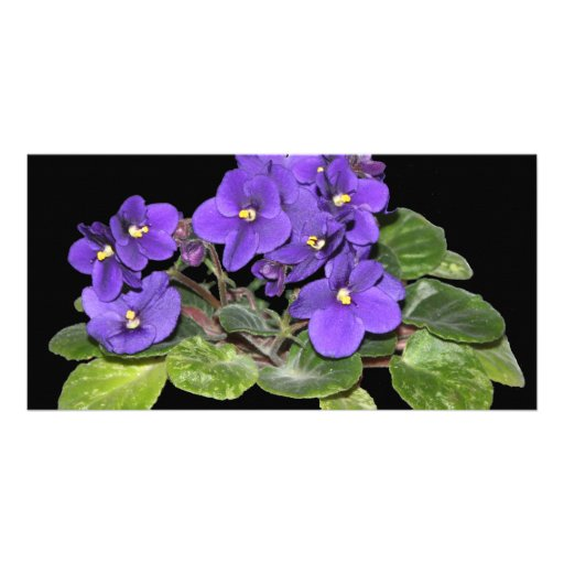 African violet picture card