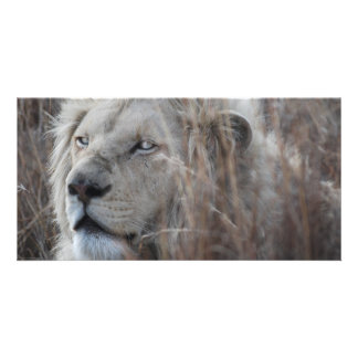 African white lion resting photo cards