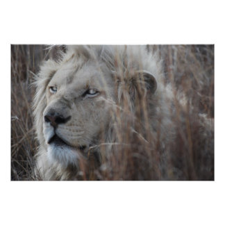 African white lion resting poster