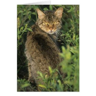 African Wild Cat, Felis libyca), ancestor of Card