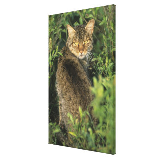 African Wild Cat, Felis libyca), ancestor of Stretched Canvas Prints