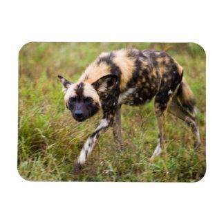 African Wild Dog (Lycaon Pictus), Madikwe Game Magnet