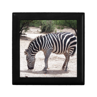 African zebra at the zoo gift box