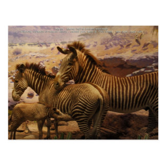 african zebras postcard