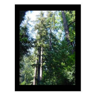 Afternoon in the Sequoias Postcard