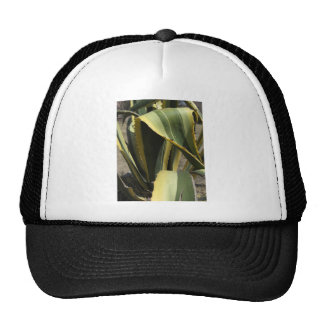 Agave Americana - Maguey Hat