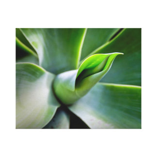 Agave Attenuata Canvas Print