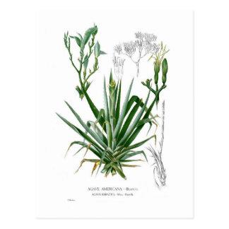 Agave species postcard