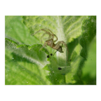Agelenid Sheet Web Spider Postcard