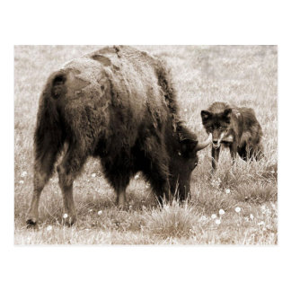 Aggressive wolf hunting bison postcard