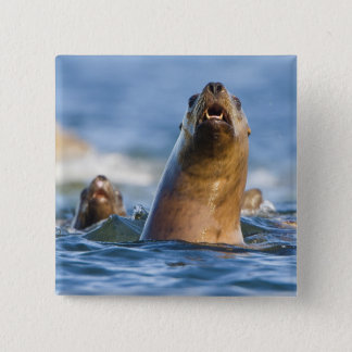 Agressive Stellar Sea Lions Eumetopias 15 Cm Square Badge