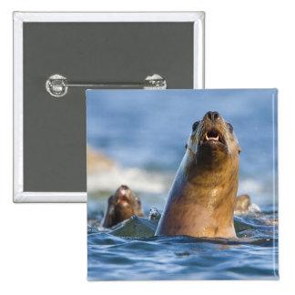 Agressive Stellar Sea Lions Eumetopias 15 Cm Square Badge