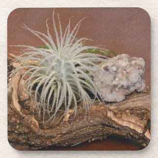 Air Plant Tillandsia Tectorum Coaster