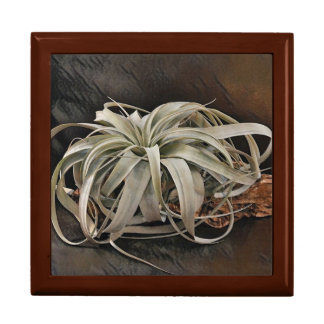 Air Plant Xerographica Gift Box