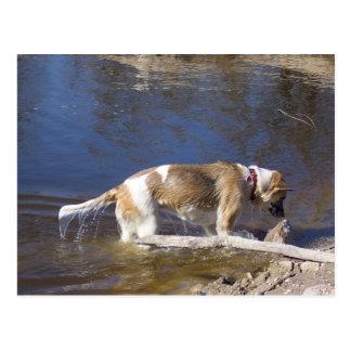 akita in water.png postcard