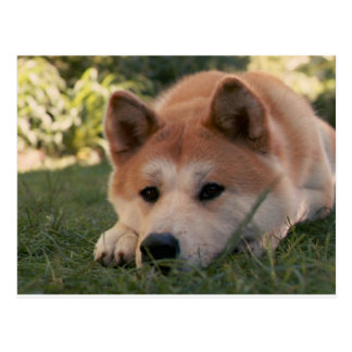 Akita Inu Dog Deep Thoughts Postcard