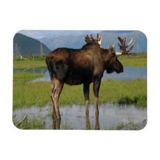 Alaska Bull Moose Antlers Marsh Photo Designed Magnet