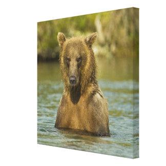 Alaska Katmai NP Coastal Brown Bear fishing Stretched Canvas Print