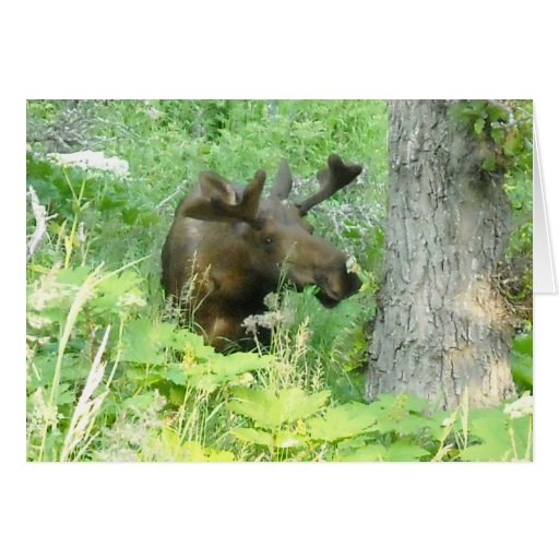 Alaska Moose Greeting Card