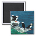 Alaska Puffins Feathered Colourful Birds Magnets