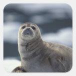 Alaska, southeast region Harbour seal on ice Square Sticker