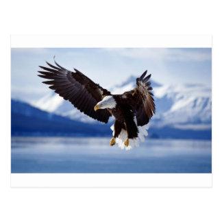 Alaskan Eagle In Flight Postcard
