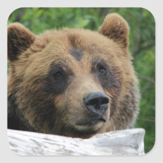 Alaskan Grizzly Bear, The Kodiak Square Sticker