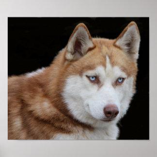 Alaskan Husky Dog Poster