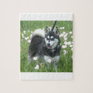 Alaskan Klee Kai Dog Plays In The Tulips Jigsaw Puzzle