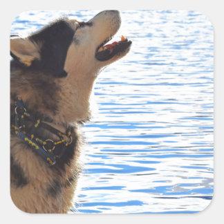Alaskan Malamute Square Sticker