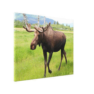 Alaskan moose with antlers canvas print