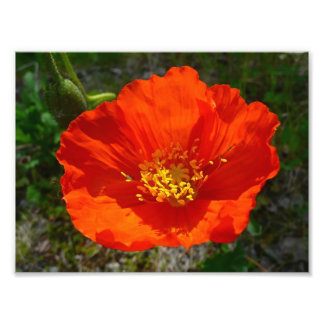 Alaskan Red Poppy Colorful Flower Photo Print