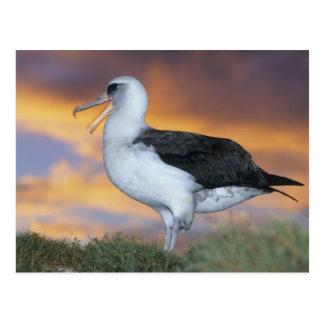 Albatross Laysan, (Diomedea immutabilis), USA, Postcard