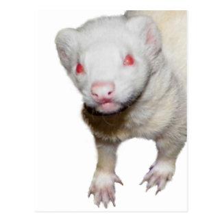 Albino Ferret Picture Postcard