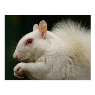 Albino Grey Squirrel Postcard