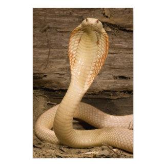 Albino Monacled Cobra, Naja kaouthia, coiled Art Photo