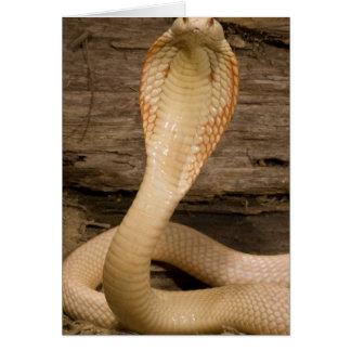 Albino Monacled Cobra, Naja kaouthia, coiled Card